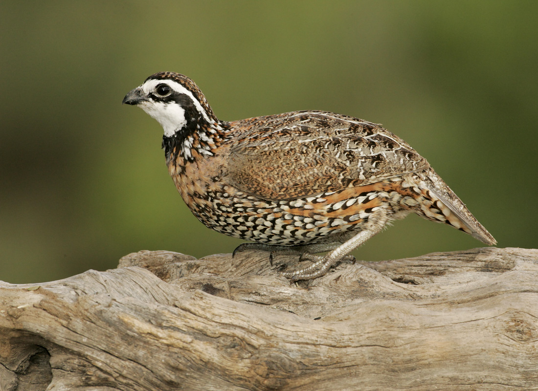 Bob White Quail Chicks
